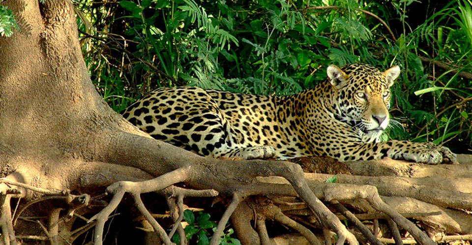 Jaguar,-The-Pantanal-2---sh