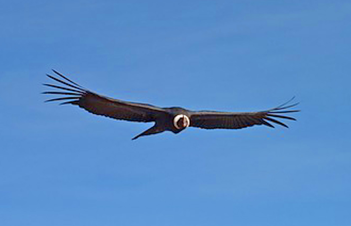 Condor in flight, Luxury holidays to the Colca Canyon, Peru