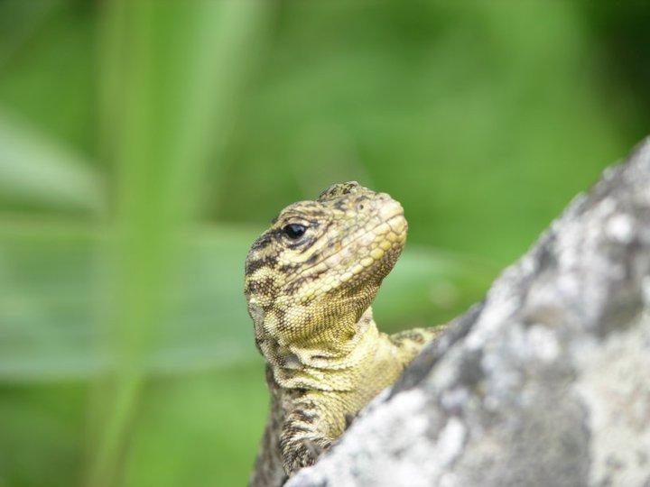 My MP Lizard