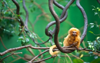 Golden-Lion-Tamarin---Adobe