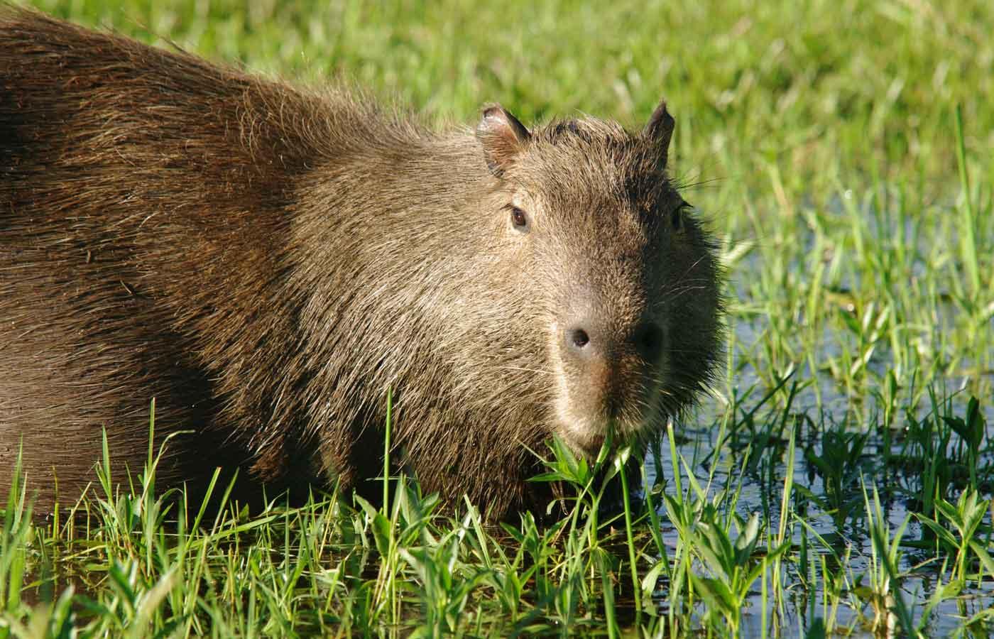 Ibera Wetlands Capybara