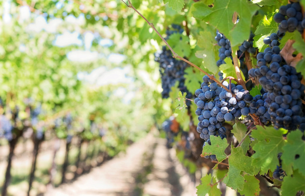 Grapes growing in the Argentine wine region.