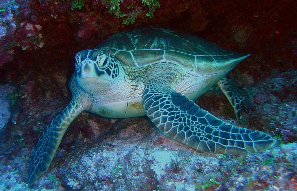 A Green Sea Turtle in Costa Rica