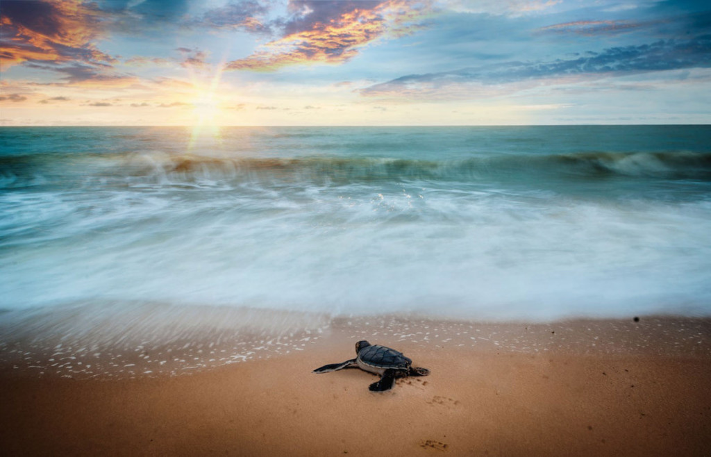 A sea turtle hatchling making its way to the sea