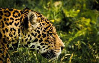 Jaguar in the Brazilian Pantanal wetlands.