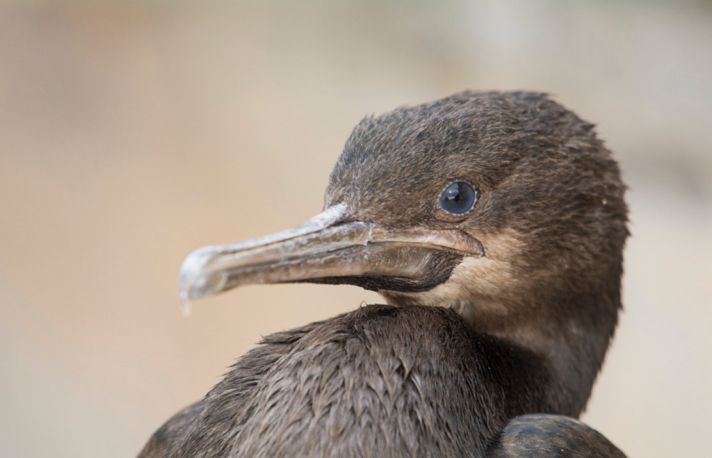 A young flightless cormorant on the Galapagos Islands