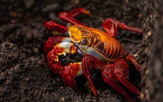 A sally lightfoot crab in the Galapagos Islands