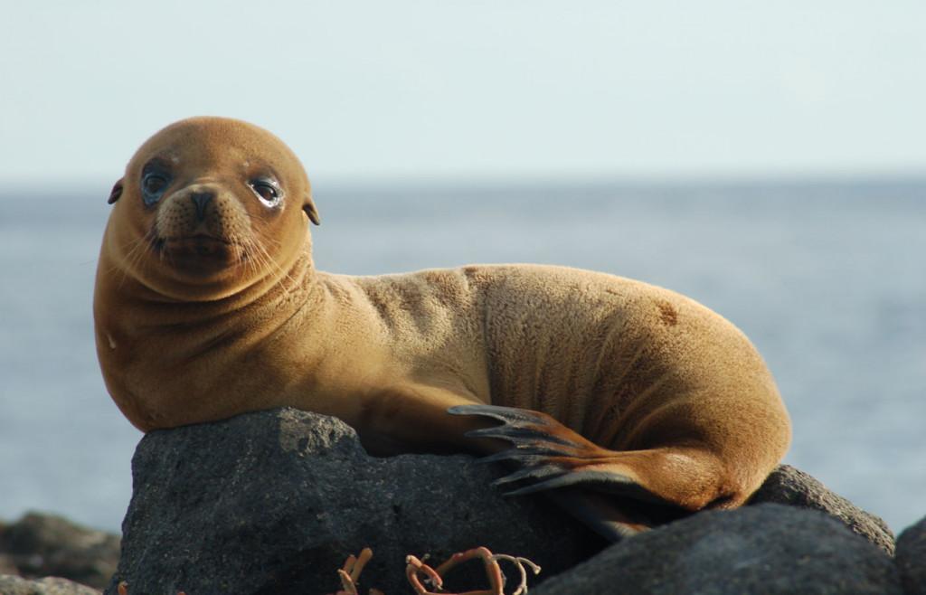 Fur seals in the Galapagos Islands
