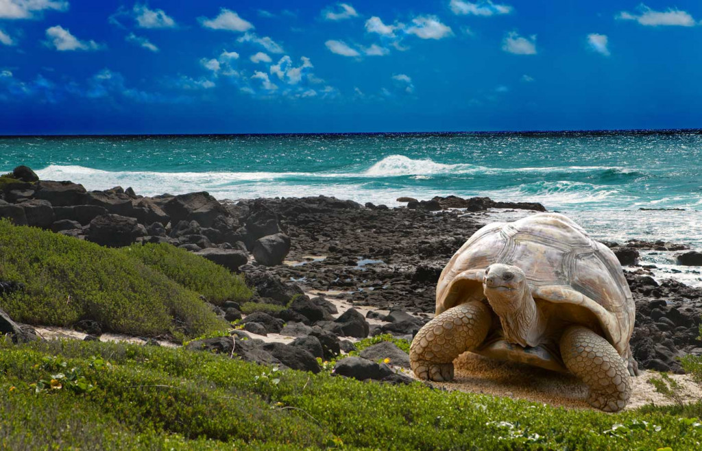 Emblematic giant tortoise in the Galapagos Islands