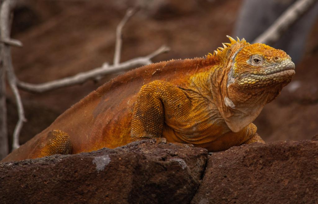 Distinctive yellow land iguana in the Galapagos Islands