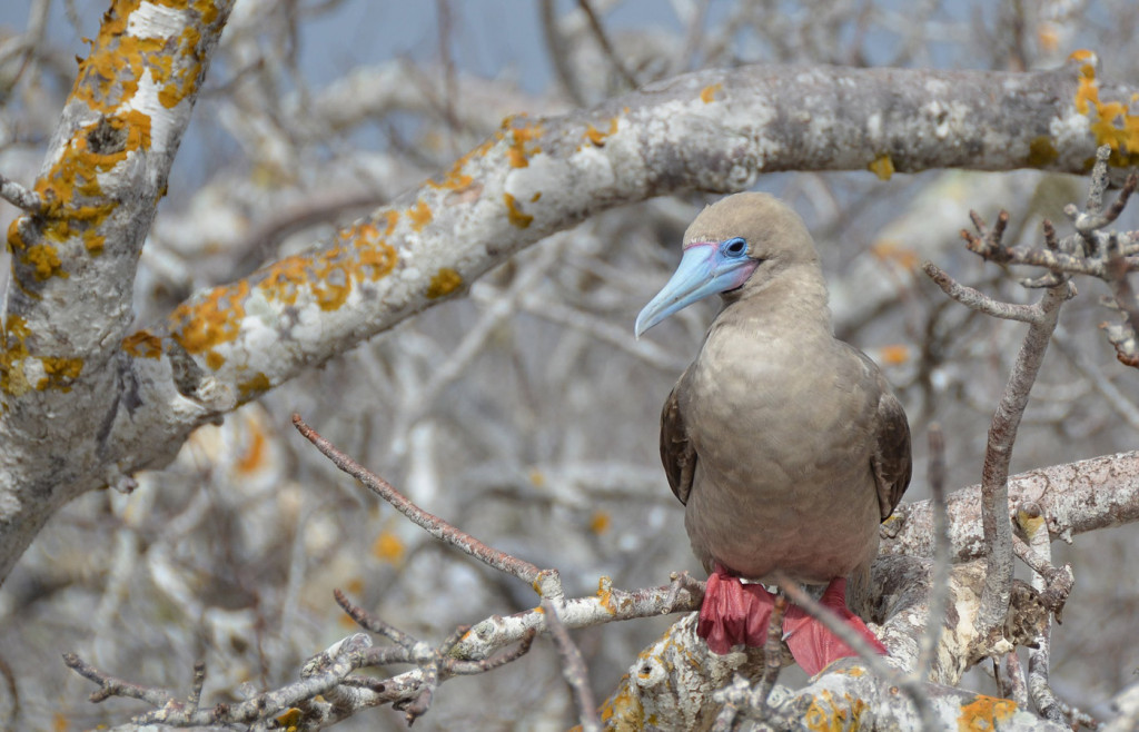 Red-footed booby on the Galapagos Islands