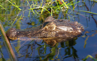 Caiman at the Ibera Wetlands in Puerto Valle, Argentina