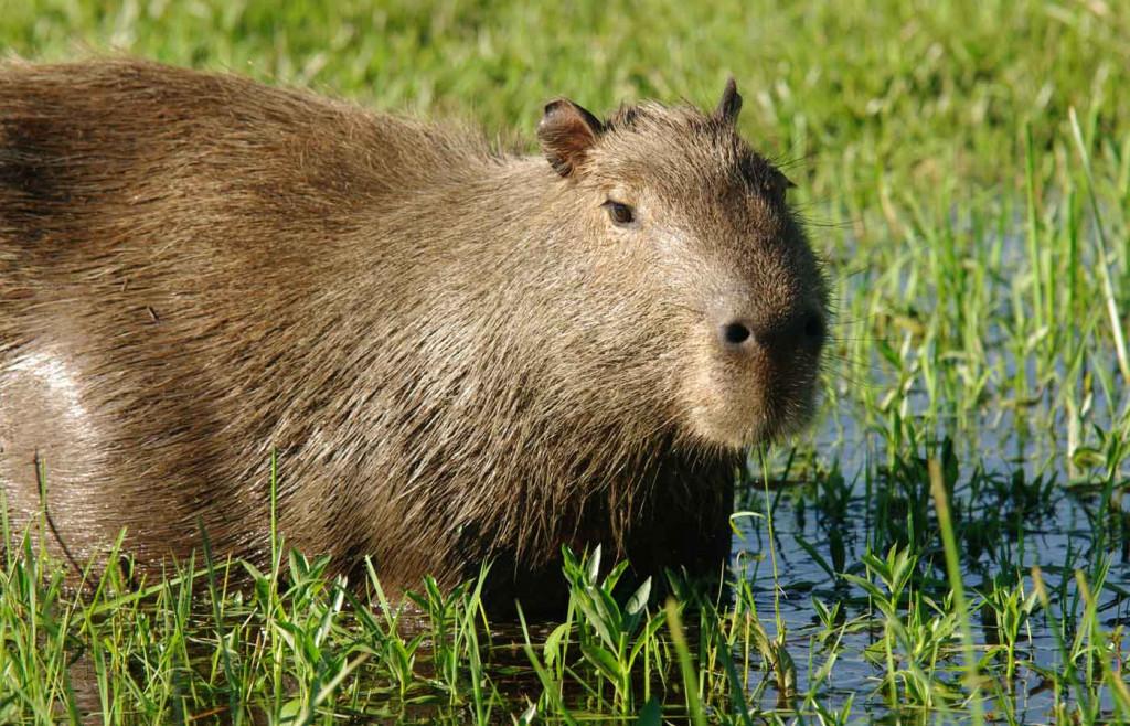 A capybara in the Ibera Wetlands, Argentina