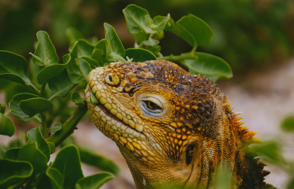 Santa Fe Land Iguana in the Galapagos