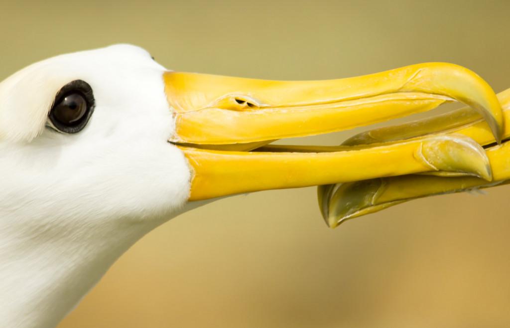 Waved albatross on Espanola Island in the Galapagos