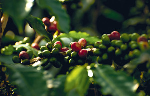 Coffee Plantation at the gorgeous Hacienda Bambusa in Colombia