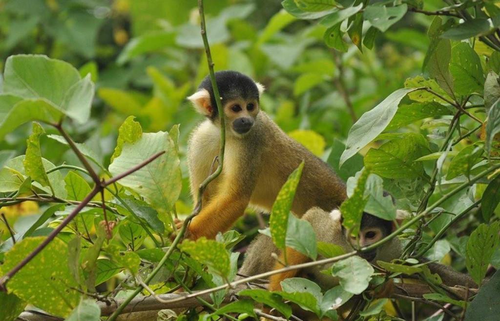 Squirrel Monkey in Bolivia