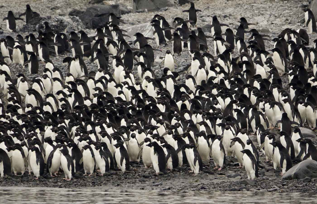 Adelie Penguin Colony, Hope Bay, Antarctica
