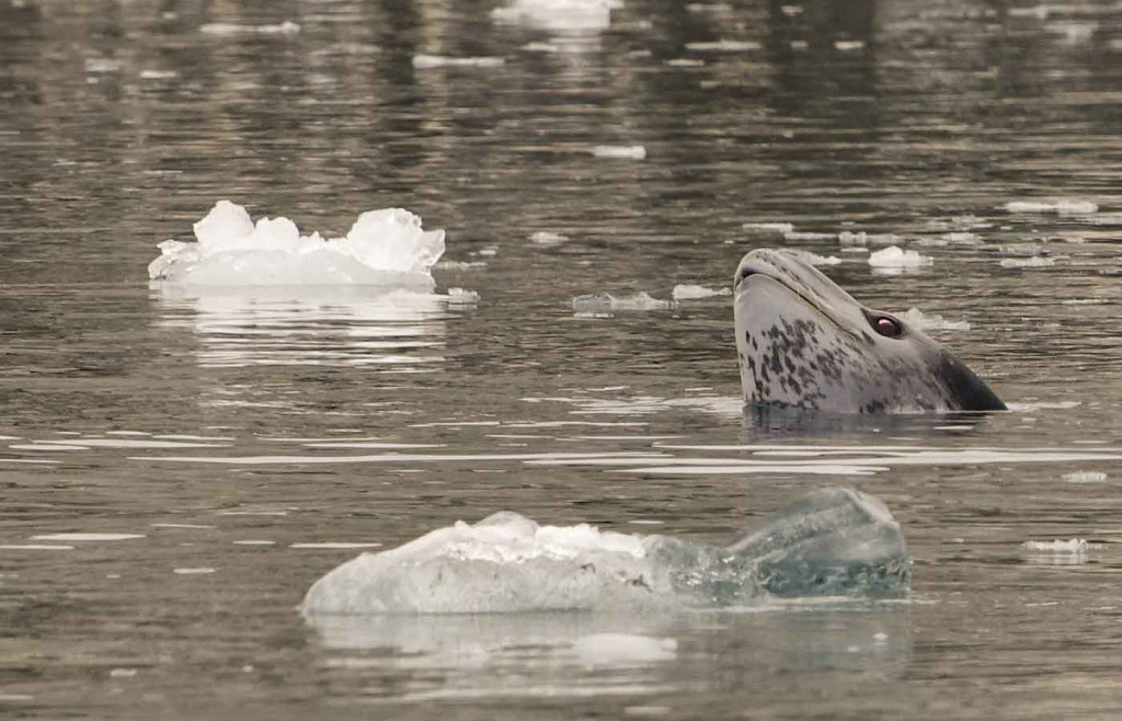 Leopard Seal, Hope Bay, Antarctica