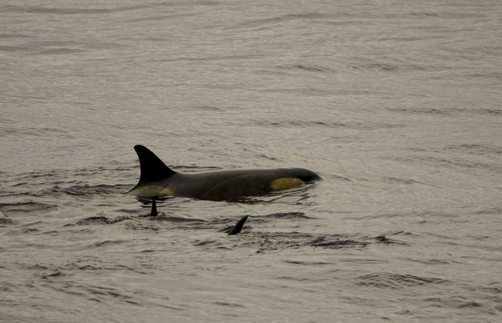 Orcas, Killer Whales, Paradise Bay, Antarctica