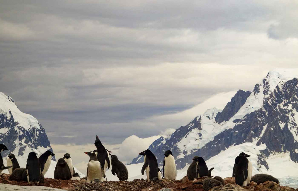 Adelie Penguins, Petermann Island, Antarctica