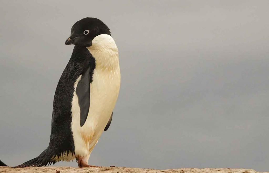 Adelie Penguin, Petermann Island, Antarctica