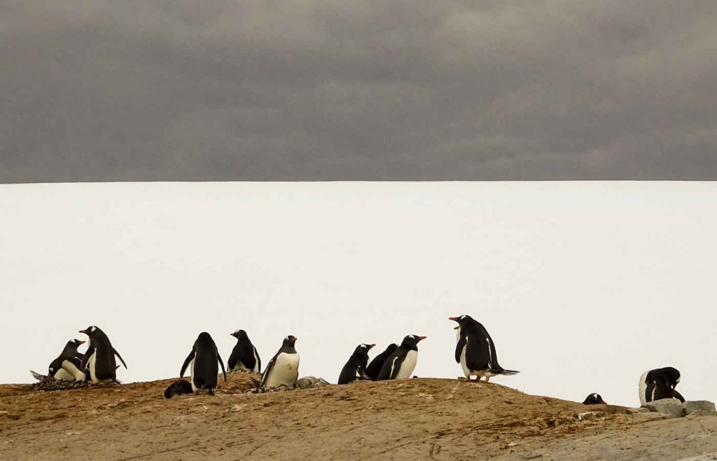 Gentoo Penguins, Petermann Island, Antarctica