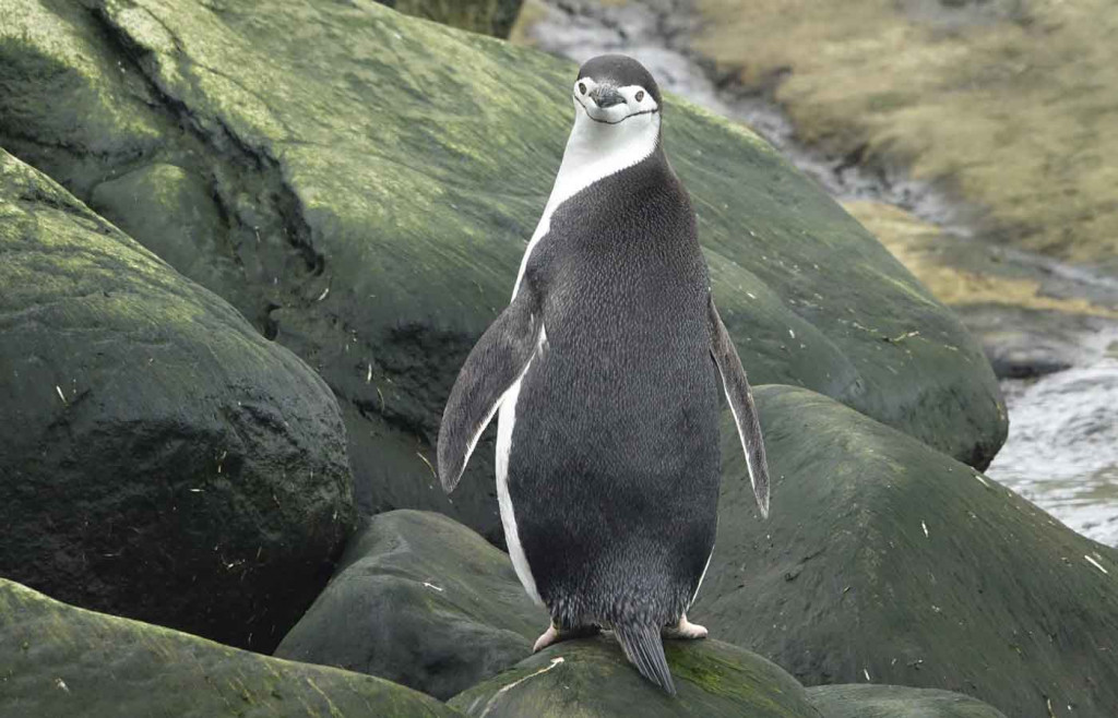Chinstrap Penguin, Petermann Island, Antarctica