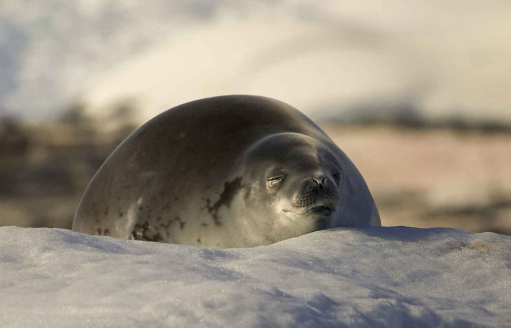 Crabeater Seal, Port Charcot, Antarctica