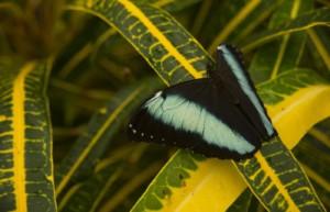 Blue Morpho butterfly, Morpho richardius, Amazon lowland rainforest, Ecuador