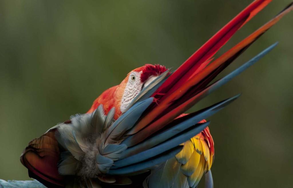 Scarlet Macaw, Ara macao, preening, Amazon lowland rainforest, Ecuador