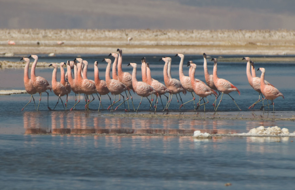 Flamingos in the Atacama Desert - Tierra excursions
