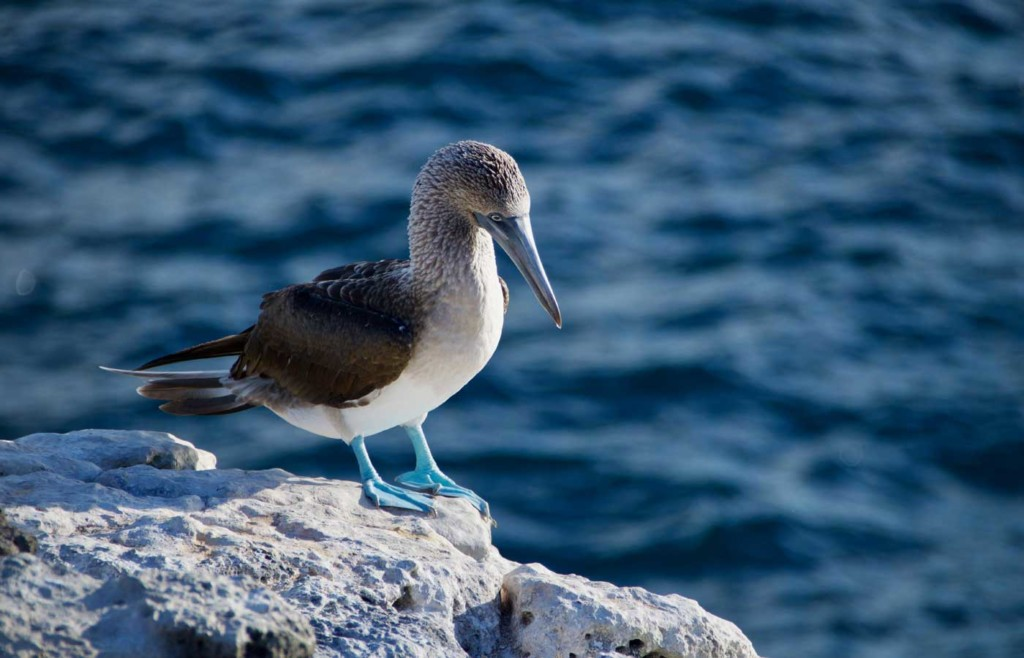 Blue Footed Booby - Galapagos Conservation Trust and Humboldt