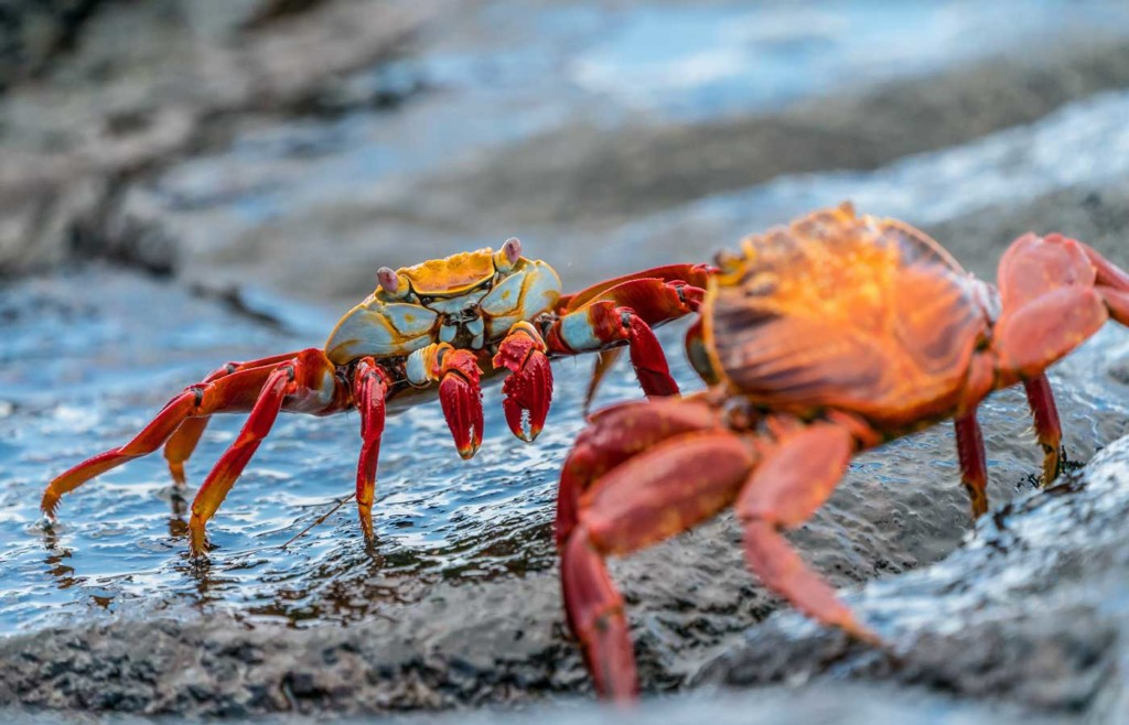 Sally lightfoot crab - Galapagos Conservation Trust and Humboldt