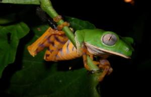 Wildlife at Sacha Lodge - Frog