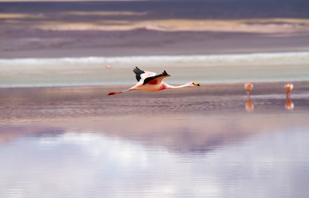 Flamingos around the Salar de Uyuni