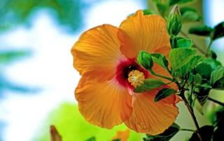 Hibiscus flower in Brazil