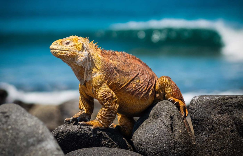 Land Iguana - Galapagos Conservation Trust and Humboldt