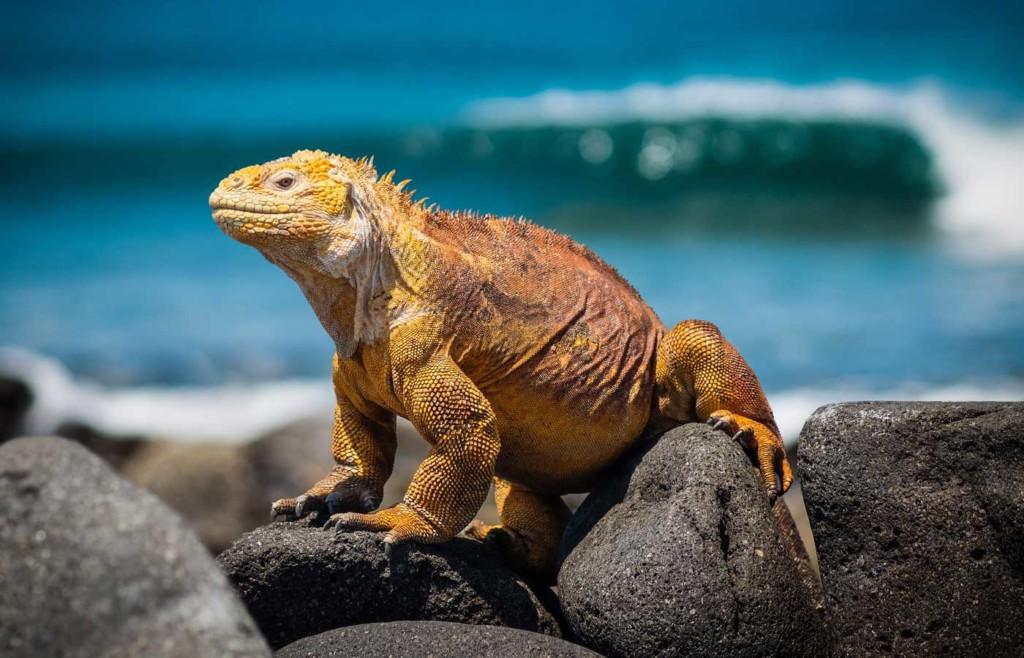 Land Iguana - Galapagos Conservation Trust and Humboldt