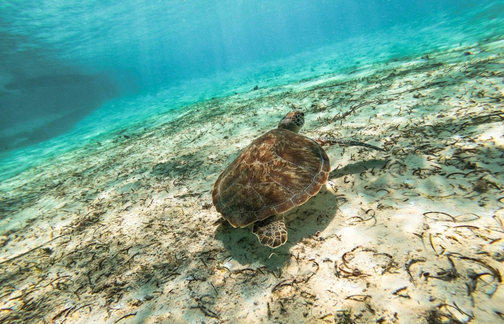 Sea turtles in the waters surrounding Providencia, Colombia