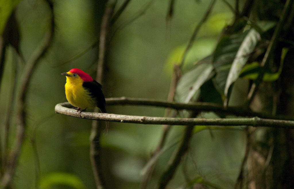 Wire-tailed Manakin (M), Pipra filicauda, Amazon Lowland Rainforest, Ecuador